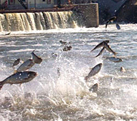 how to stop asian carp invasion