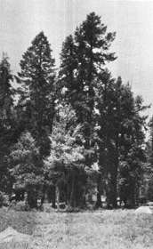 [Magnificent Silver Firs (Mr. Muir in foreground)]