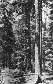 John Muir vs. Gifford Pinchot