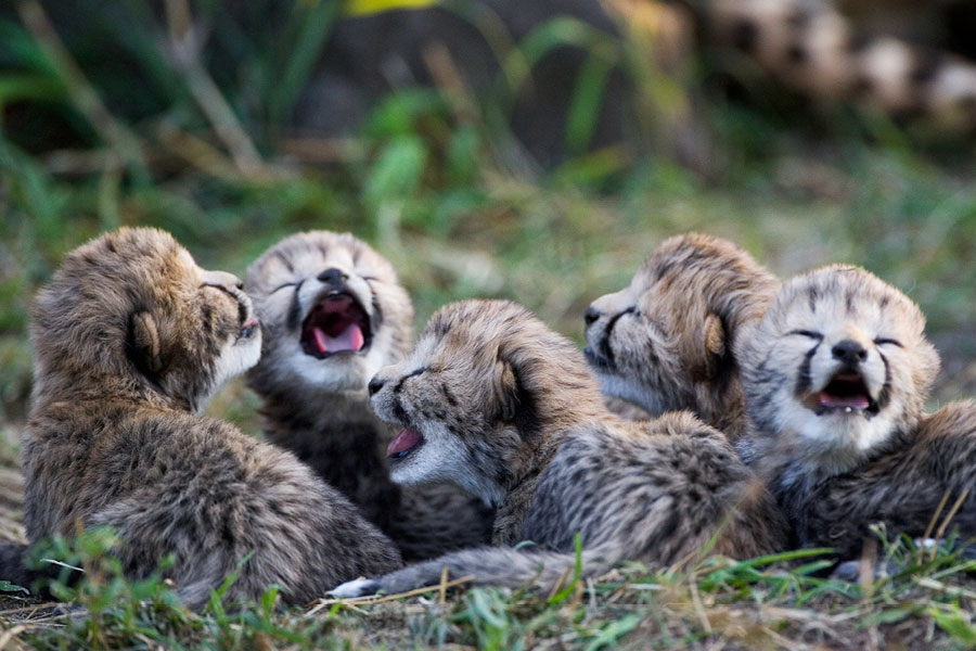 Animal Families Cheetah Babies Sierra Magazine Sierra Club